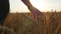 Male hand moving over wheat growing on the field Stock Footage