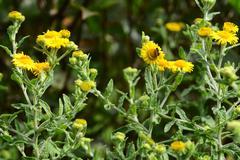 Heriades truncorum bee on yellow fleabane Stock Photos