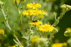 Yellow common fleabane flowers with a small bee Stock Photos