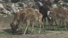 Herbivorous Animals in Zoo Stock Footage