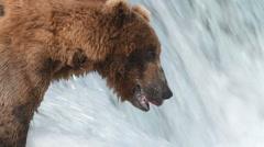 Brown bear fishing Stock Footage