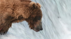 Brown bear catching fish Stock Footage