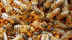 Large queen bee lays eggs in the cell. It is surrounded by other bees and feed Stock Footage