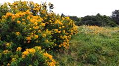 Australia Mornington Peninsula yellow flowers on shrub Stock Footage