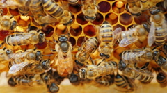 The queen bee surrounded by bees: that support and feed Stock Footage
