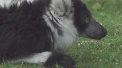 Lemur Close Up Stock Footage