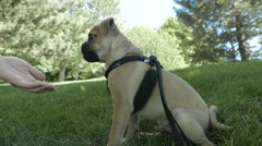 4K Puppy Dog Training Trick by Giving Treats to Reward - stock footage