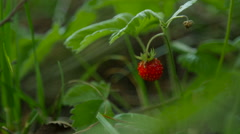 Close up shot of Wild Strawberry into the wild Stock Footage