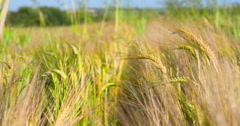 Camera tracks through windy vibrant summer wheat crop 2K 150fps Stock Footage