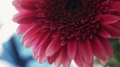 View of red gerberas in flowerbed. Flowers. Blossom Stock Footage
