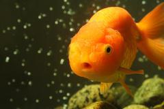 Lion head goldfish Kuvituskuvat