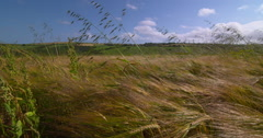 Summer wheat crop swaying in summer winds, camera pan left to right 2K 150fps Stock Footage