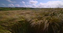 Summer wheat crop swaying in summer winds, Irish landscape 2K 150fps Stock Footage
