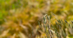 Tall grass sways above summer wheat crop, shallow focus 2K 150fps Stock Footage