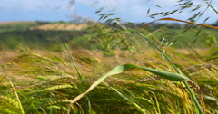 Wheat crop swaying in summer breeze, Irish landscape Stock Footage