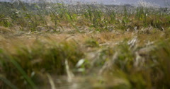 Wheat field in strong summer wind 2K Slow-Mo Stock Footage
