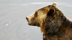 4K Grizzly Bear Sitting in Water, Wild Nature Mammal, Outdoors Close Up Stock Footage