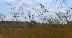 Wheat and Long Grass dancing in the summer wind 2K Slow Motion Stock Footage
