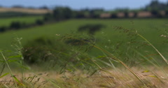 Young wheat sheaves dance in the wind in summer landscape 2K Slow Mo Stock Footage