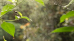 Spiny spider Micrathena sp. repairing a broken web in the morning Stock Footage