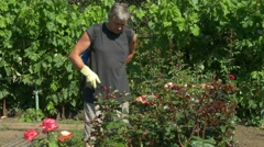 Gardener sprays rose flower bushes near vine grapes by cordless sprayer Stock Footage