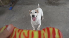 Jack russel dog taking toy from woman hand Stock Footage