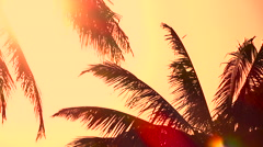 CLOSE UP: Palm tree canopies swinging in summer breeze at amazing golden sunrise - stock footage
