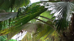 SLOW MOTION: Water drops falling down from big lush jagged palm tree leaves - stock footage