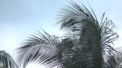 CLOSE UP: Beautiful lush green palm tree canopy against clear blue cloudless sky Stock Footage