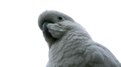 Australia cockatoo head Stock Footage