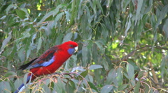 Australia Crimson Rosella on tree branch Stock Footage