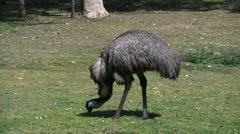 Australia emu eating grass Stock Footage