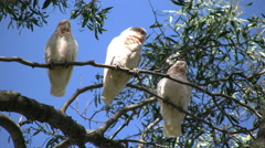 Australia Long-billed Corella birds in gum tree bite attempt Stock Footage