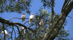 Australia Long-billed Corella birds in gum tree zooms in Stock Footage