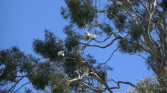 Australia Long-billed Corella birds in gum tree swaying branches Stock Footage
