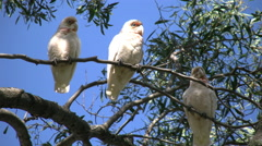Australia Long-billed Corella birds in gum tree head scratch Stock Footage