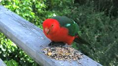 Australia parrots feeding King Parrot male Stock Footage