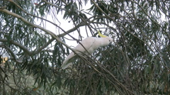 Australia Sulphur Crested Cockatoo in tree flies slow Stock Footage