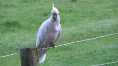 Australia Sulphur Crested Cockatoo on a wire Stock Footage