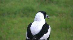 Australian Magpie with seed flies away Stock Footage