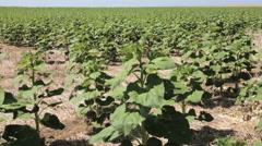 Sunflower fields in Eastern Colorado. Stock Footage