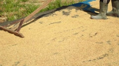 Spreading rice grains on mat with wooden rake, sun drying Stock Footage