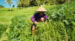 Old indonesian man cuts grass with a sickle, rice field background Stock Footage