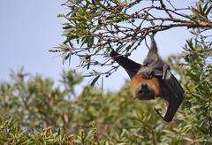 Male Flying Fox (Fruit Bat) hanging from a tree Kuvituskuvat