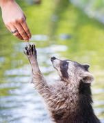 Racoon begging for food Stock Photos