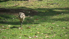 Australia Emu chick walking Stock Footage