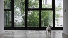 Dog waiting still stands and waits at home Stock Footage