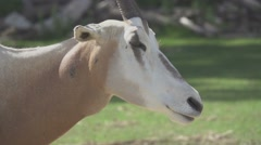 Scimitar Oryx, Slow Motion Stock Footage