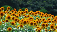 Sunflower fields dancing in sunny, summer day Stock Footage