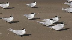 New Zealand dotterel birds on coromandel seashore Stock Footage